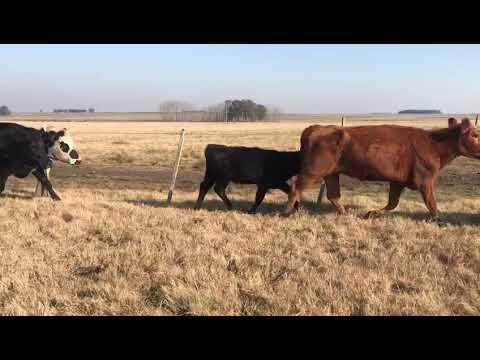 Afiche 40 Vacas de Invernada  - 435kg - Salto