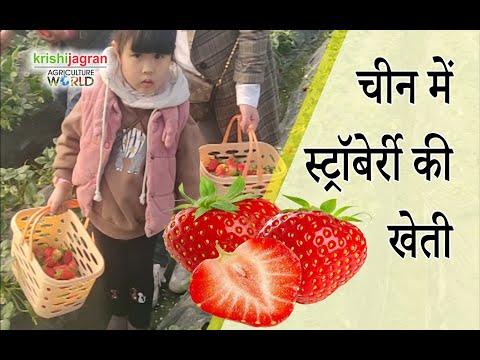 चीन में स्ट्रॉबेर्री की खेती
