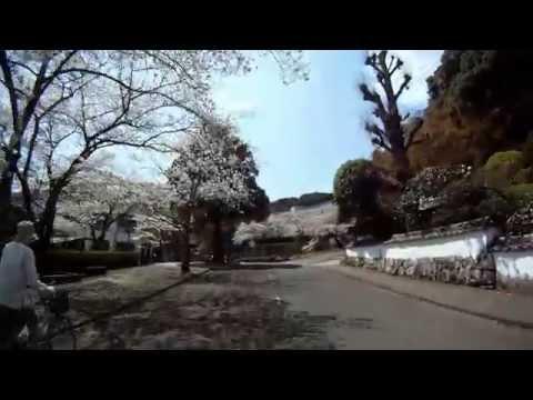 鶴城高校から佐伯小学校の桜 2014 3 27