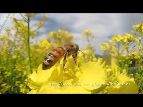 ナノハナ畑のミツバチをTG-6に魚露目で