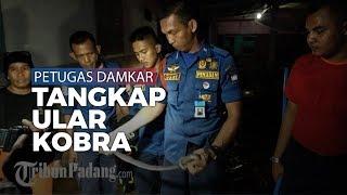 Seekor Ular Kobra 'Bertamu' ke Rumah Warga di Padang, Berhasil Ditangkap Petugas Damkar