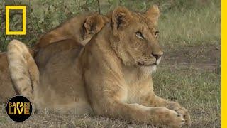 Safari Live - Day 333 | National Geographic thumbnail