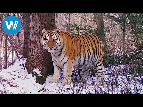 Sibirien - Im Reich des Amur-Tigers (360° - GEO Reportage)
