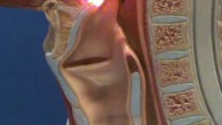 Larynx - Sagittal View