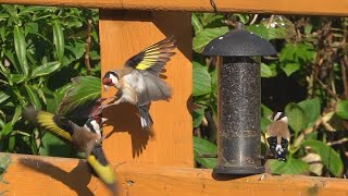 Goldfinches fighting and chirping juveniles