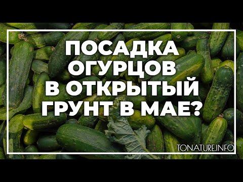Посадка огурцов в открытый грунт в мае   toNature.Info