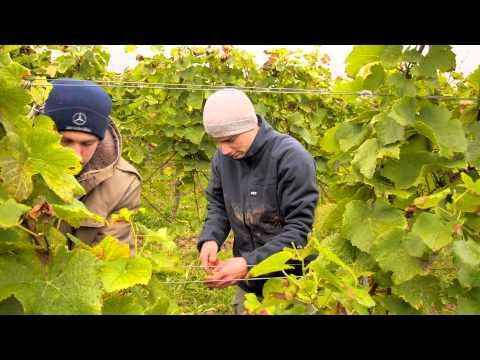 Weinsorte Dornfelder an der Südlichen Weinsraße