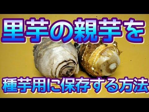 【農業#64】里芋の親芋を種芋用に保存する方法
