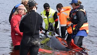 video: Hundreds of stranded whales on Australian coast will not survive, rescuers warn