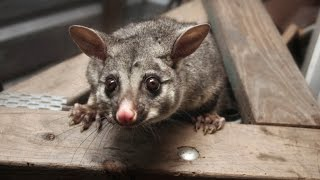 How to Get Rid of Possums From a Roof?