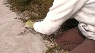How to Prune Groundcover Junipers the RIGHT Way