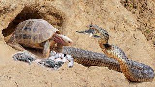 10 Batallas ÉPICAS de ANIMALES captados en CÁMARA   E.p 26   Peleas Animales