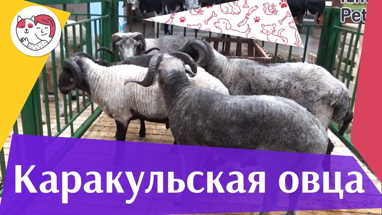 Каракульская овца на ilikepet. Особенности породы, уход