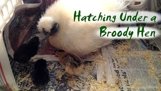 How to Hatch Eggs Under a Broody Hen