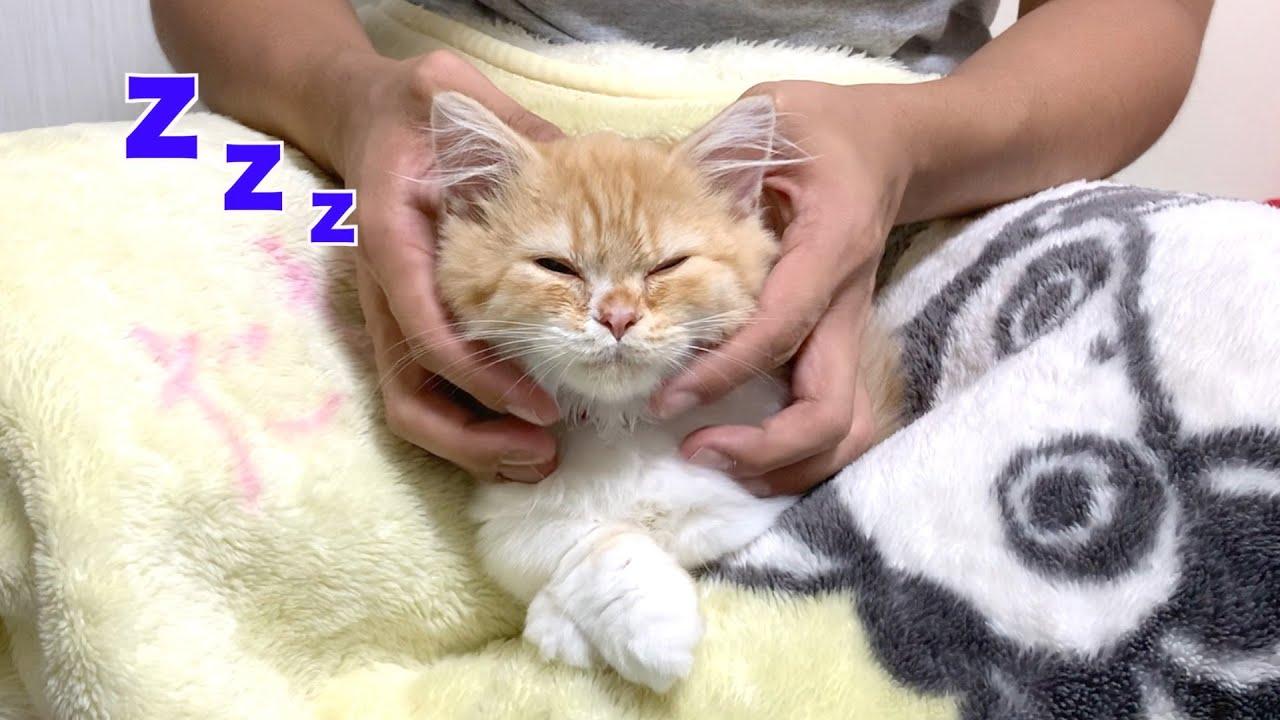 【感動】子猫が飼い主の膝の上で初めて寝落ちしました(マンチカン)