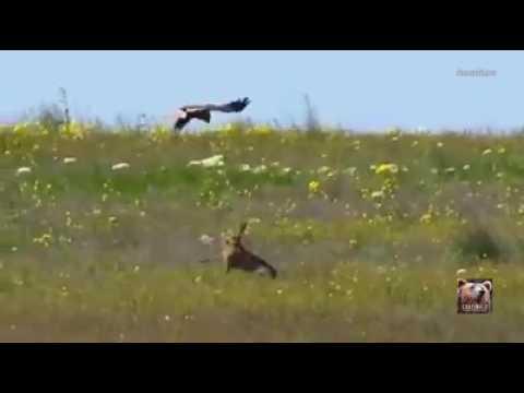 Hissig hare tok opp kampen mot hauk