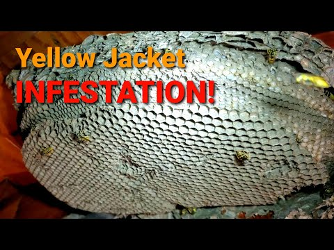 Yellow Jackets INFESTATION in ATTIC! | Wasp Nest Removal