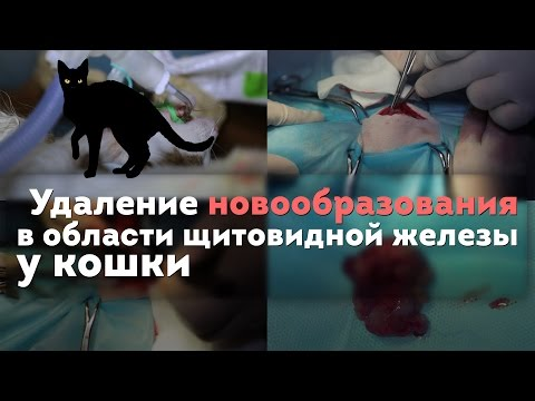 Удаление новообразования в области щитовидной железы у кошки