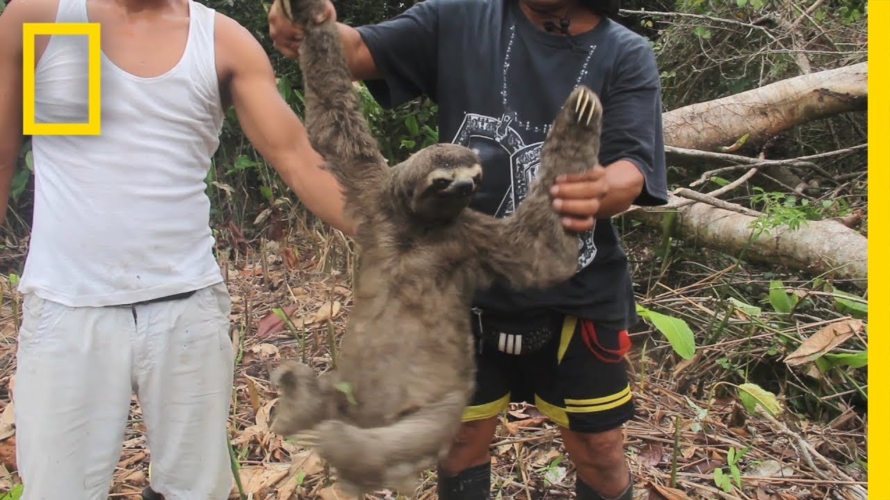 Witness the Harrowing Capture of a Wild Sloth for the Black Market | National Geographic thumbnail