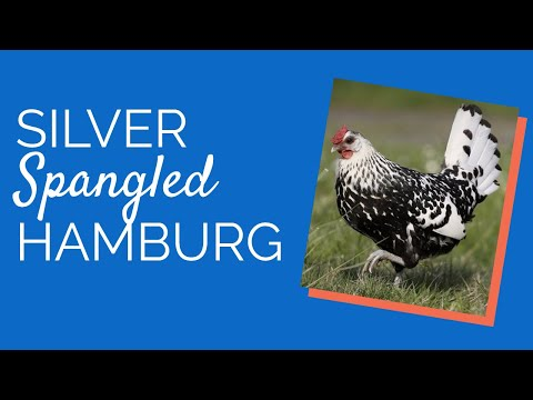 , title : 'Silver Spangled Hamburg Chicken    Chickens for Backyards