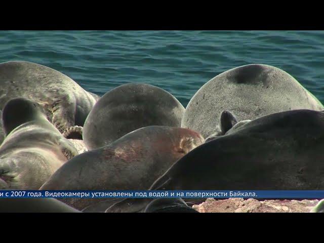 Байкальским нерпам грозит опасность