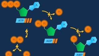Nucleotidi ed ATP