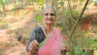 Home remedy for piles - Ayapana tree (Vishapaccha)