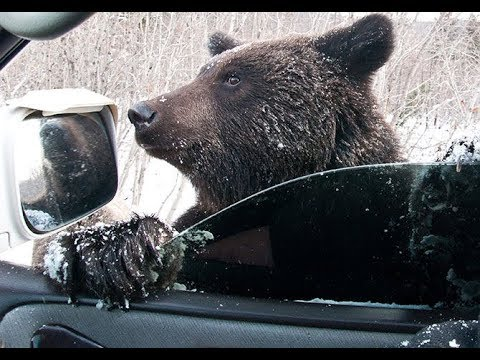 Медведи на трассе Нягань - Талинка