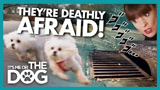 Maltese Trio Walk Sideways To Try And Avoid Storm Drains | Its Me Or The Dog