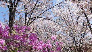 桜の動画素材, 4K写真素材