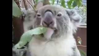Koala food trees are disappearing