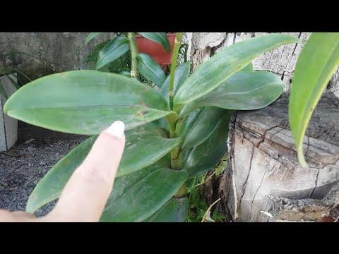 Tratamento de um fungo de um aguarrás de prego