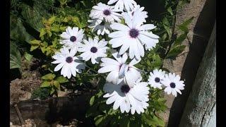 Остеоспермум – выращивание из семян в домашних условиях