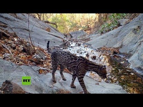 Cámaras trampa graban los secretos de la vida silvestre en Costa Rica