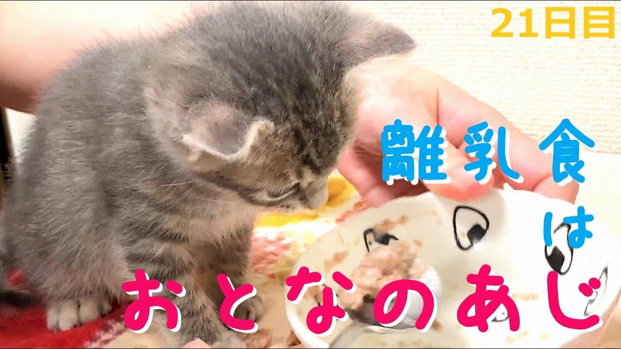 【保護猫】初めての離乳食を食べる子猫~ミルク絶対主義がごはんのおいしさに気付いた瞬間【生後34日】Kitten eating first baby food