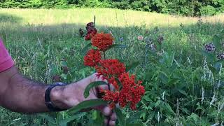 Stop Growing Tropical Milkweed For Monarch Butterflies Immediately Here's Why