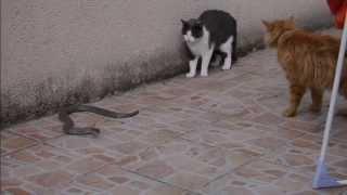 Mes deux chats contre un gros serpent.