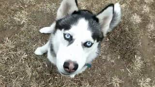 Storm, 10 Month Old Husky, Pulling, Separation Anxiety