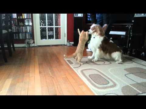 Kattenkaarten Kitten speelt met hond leuke kitten video