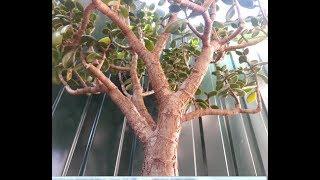 Денежные деревья в лучах утреннего солнца. Музыка А. Ольдера.