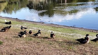 Lots of Wood Ducks Feeding