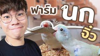 บุกฟาร์มนกแก้วจิ๋ว อยากแอบเอากลับบ้าน!! นกฟอพัส นกแก้วที่มีขนาดเล็กที่สุด