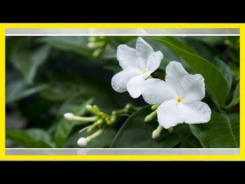 Jasmin überwintern: So übersteht die Blume die kalte Jahreszeit