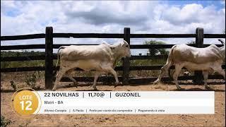 22 NOVILHAS GUZONEL