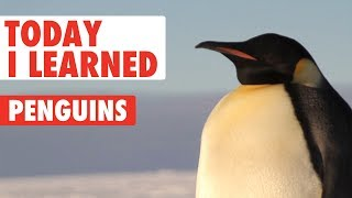 Today I Learned: Penguin Facts