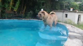 CAMPEON ARGENTINO ONLY LOVE ROMEO Jr. Shar-Pei nadando