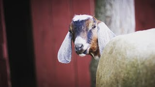 Buying a Milking Goat - How to find quality goats.
