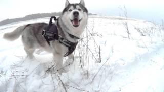 Cool husky drone video. Хаски с квадрокоптера 2