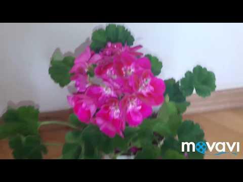 Самая яркая пеларгония глазастик  PAC Flower Fairy Berry