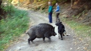 Wolf dog and boars